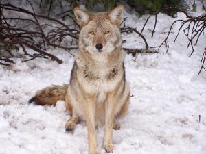 wolf yosemite