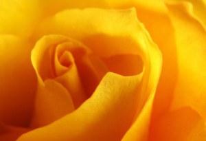 2-11-13-rose-jpeg