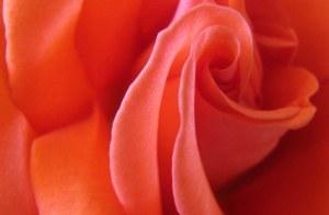 2-26-13-rose-jpeg