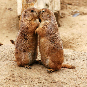 300px-Kissing_Prairie_dog_edit_3