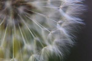 4-20-13-dandelion-jpeg