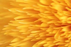 7-27-13-sunflower-jpeg