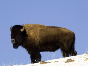 american-buffalo-yellowstone-national-park