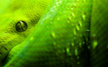 Green-Snake-widescreen-1080p-wallpaper-220x137
