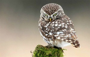adorable-little-owl