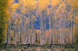 Aspens and Fence - Jackson Hole, Wyoming
