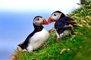 atlantic-puffin-massimilano-sticca