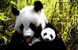 baby-panda-says-hi-katherine-feng