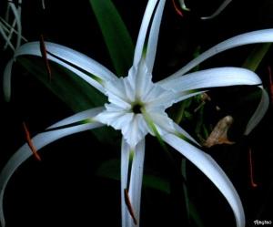 beach-spider-lily-ajaytao