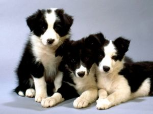 black-and-white-border-collie-pups