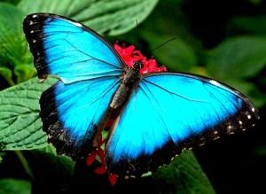 butterfly-blues