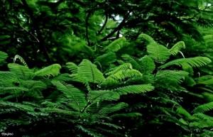 delonix-regia-lush-green-trees-ajaytao