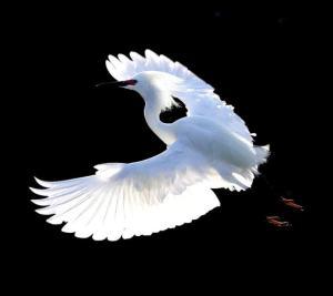 flying-snow-egret-tiny-birds