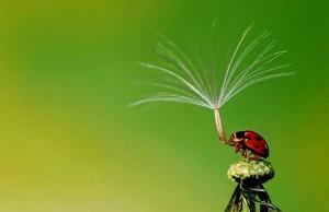 ladybug-holds-dandelion-seed-hoang-hiep-nguyen