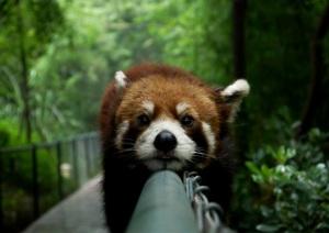 lazy-red-panda