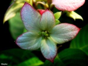 pink-mussaenda-flower-ajaytao