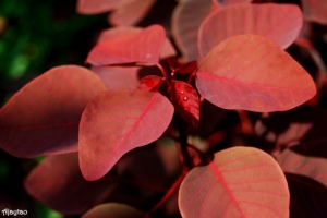 poinsettia-reddish-brown-leaves-ajaytao