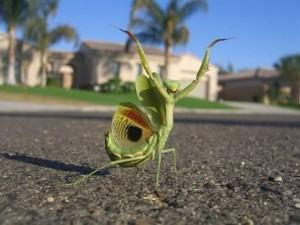 praising-mantis