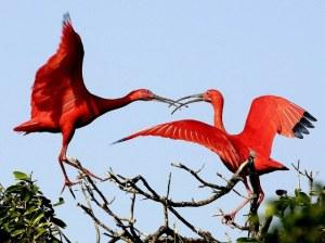 scarlet-ibises
