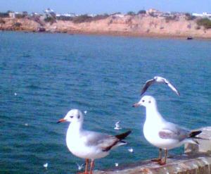 seagulls-betdwarka-gujrat-ajaytao-1