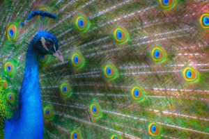the_colours_of_the_peacock
