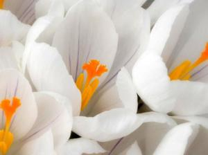 white-crocus-flower