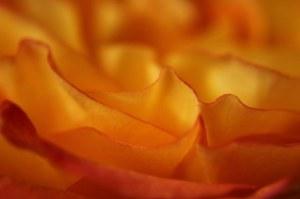7-21-14-rose-jpeg
