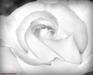 rose-b-w-7-ajaytao