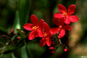 tiny-red-flowers-ajaytao