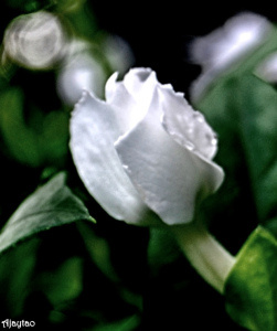 white-little-bud-ajaytao