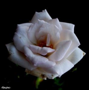 white-rose-ajaytao
