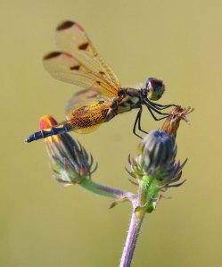 dragonfly-21
