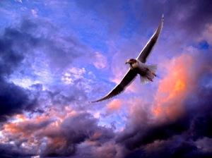 soaring-gull